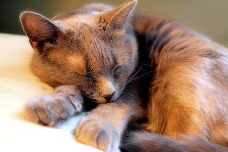 Family Cat Sleeping Soundly 版權商用圖片