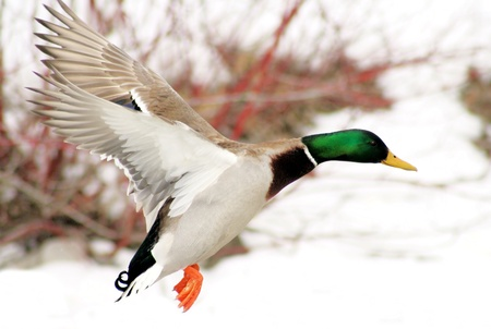 fowl: Mallard duck flying over snow covered pond