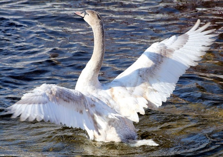 Young swan stretching her beautiful wings photo