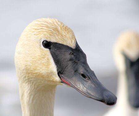 Trumpeter Swan Stock Photo - 9098389
