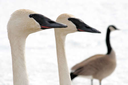 Trumpeter Swan pair with Canada Goose in the background photo