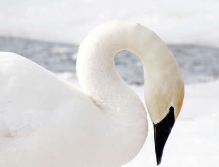 Beautiful Trumpeter Swan Stock Photo - 9098387