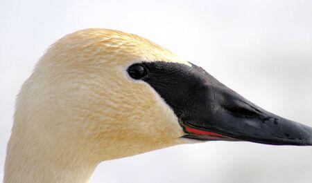 Trumpeter Swan Stock Photo - 9162033