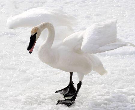 Trumpeter Swan Stock Photo - 9162037