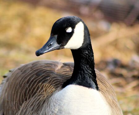 Canada Goose with eyes closed - sleeping photo