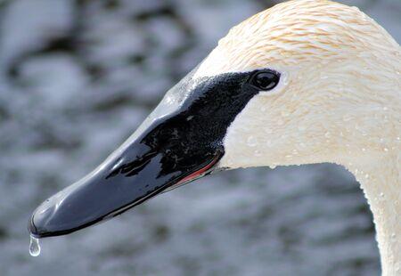 Trumpeter Swan Profile Stock Photo - 9162044