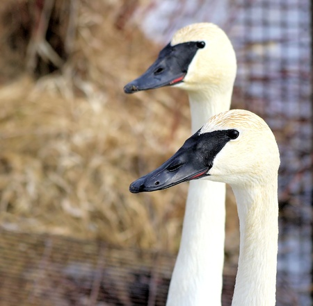 Trumpeter Swans - male and female Stock Photo - 9162043