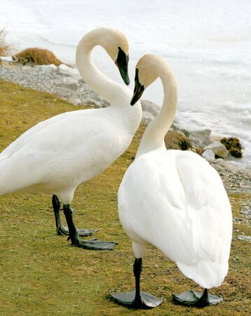Trumpeter Swans - male and female photo