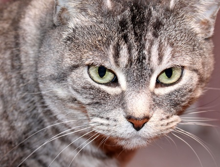 stalking: Cat Stalking Prey Stock Photo