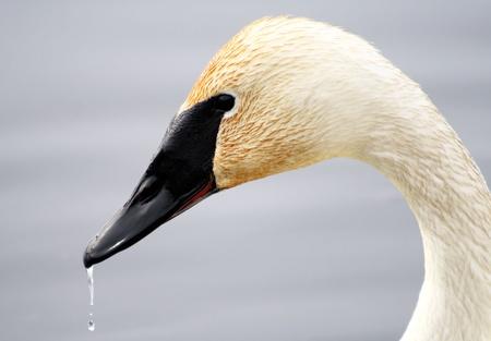 tundra swan: Swan trompetista con gotas de agua en pico