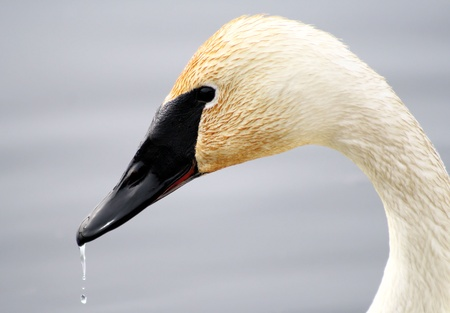 Trumpeter Swan with water droplets on beak Stock Photo - 9275784