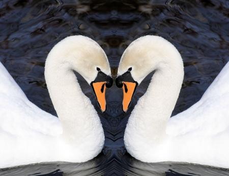 mute swan: Swans