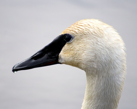 Trumpeter Swan Profile Stock Photo - 9353751