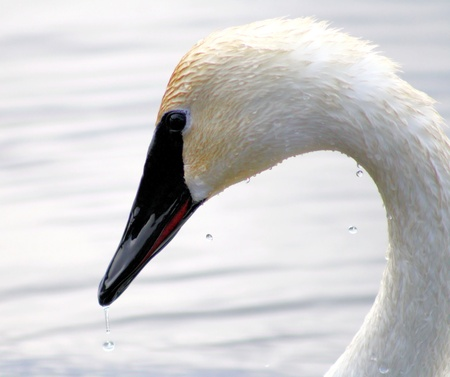Beautiful Trumpeter Swan With Water Droplets Stock Photo - 9353750