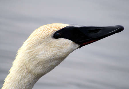 Trumpeter Swan Profile - showing their very distinctive beak Stock Photo - 9353755