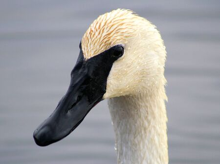 Trumpeter Swan Stock Photo - 9353748