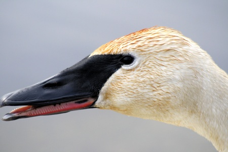 Trumpeter Swan With Beak Open - can see inside  photo