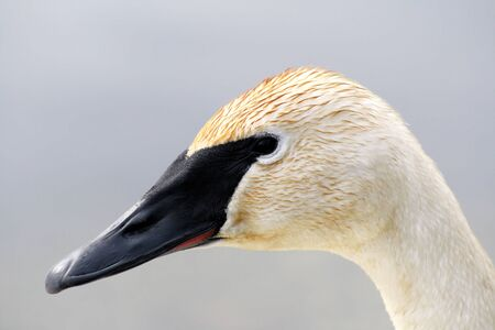 Trumpeter Swan Stock Photo - 9353753