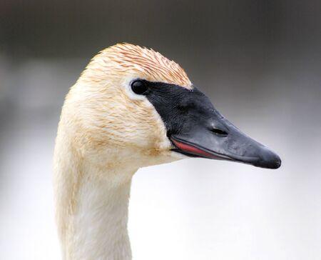 Trumpeter Swan Stock Photo - 9353749