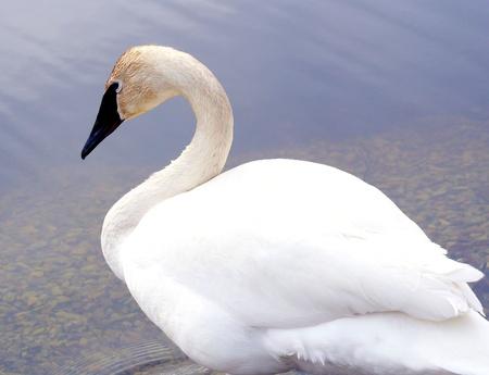 Beautiful Trumpeter Swan - standing in water photo