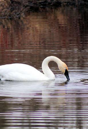 trumpeter swan: Wild Trumpeter Swan on beautiful pond