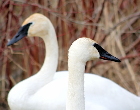 Beautiful Trumpeter Swans Stock Photo - 9360684