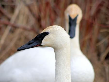 Beautiful Trumpeter Swans - breeding pair Stock Photo - 9360682