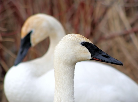 Beautiful Trumpeter Swans  Stock Photo - 9360681