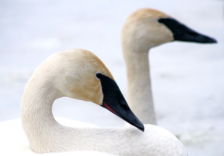Trumpeter Swans - breeding pair Stock Photo - 9536561