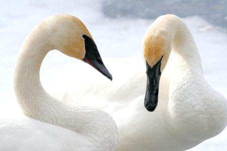 Beautiful Trumpeter Swans Stock Photo - 9536559