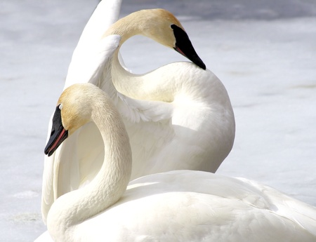 Trumpeter Swans - Breeding Pair Stock Photo - 9536560