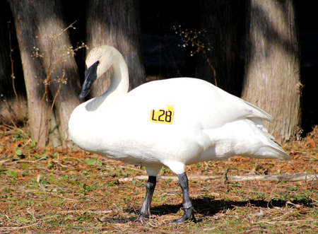 tagged: Tagged and  Banded Trumpeter Swan Stock Photo