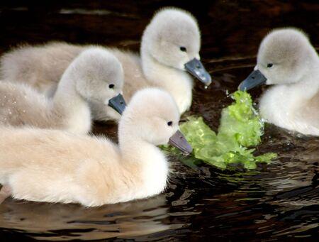 nibbling: Swan siblings nibbling at a piece of lettuce