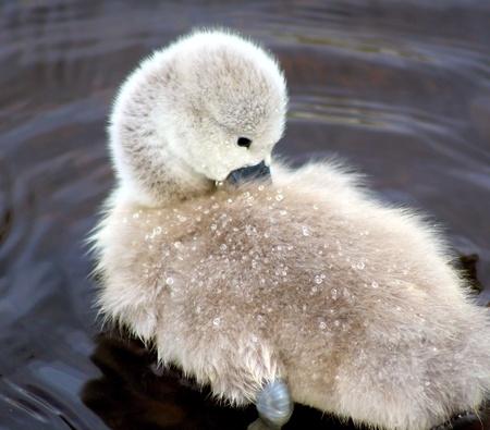 Adorable Baby Swan  photo