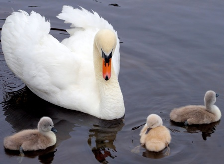 Swan and her young  photo