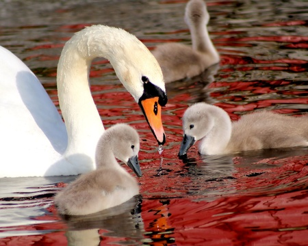 Mute Swan and her young Stock Photo - 9691219