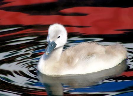 mute swan: Baby Mute Swan (Cygnet)