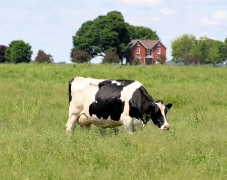Cow at pasture on country farm photo