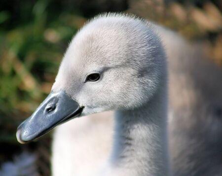 Beautiful Baby Mute Swan (Cygnet) photo