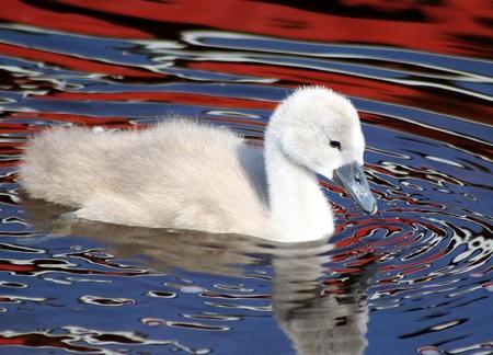 Baby Mute swan swimming on beautiful coloured waters photo