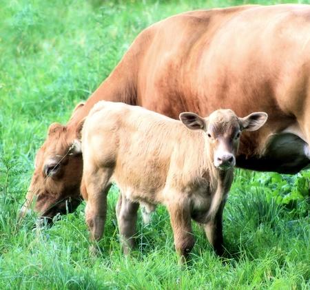 Jersey vaca y su becerro Foto de archivo - 9871084