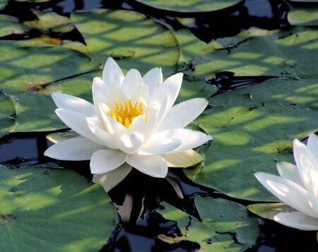 Beautiful White Water Lily Stok Fotoğraf