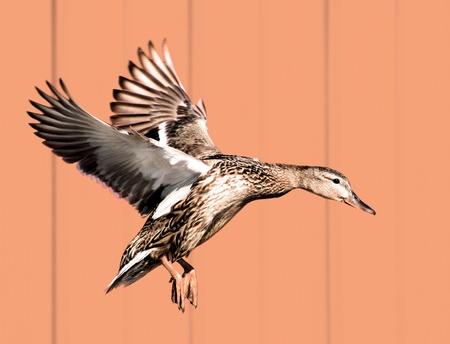 duck feet: Mallard female preparing to land