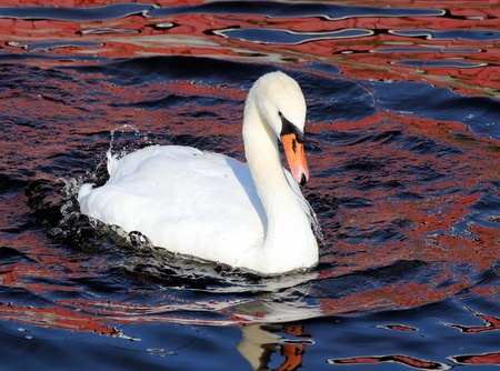 Beautiful Swan  photo