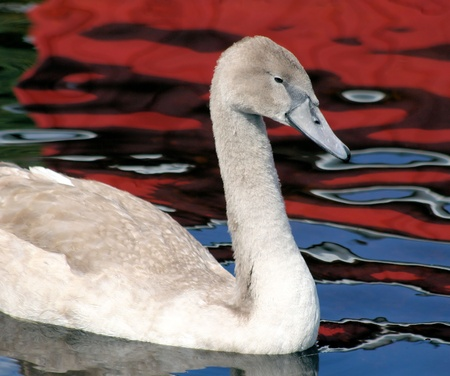 mute swan: Mute Swan - Young Adult