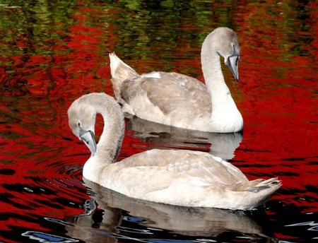 Swans - young cygnets  photo
