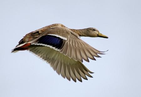 pato real: Pato Mallard en vuelo