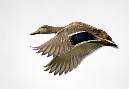 Mallard Duck In Flight Imagens