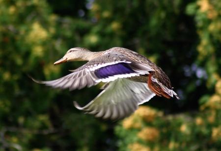 lonely bird: Mallard Duck In Flight Stock Photo