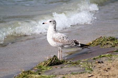 rushing water: Ring Billed seagull